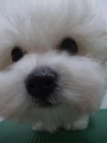子犬こいぬのシャンプービションフリーゼブリーダー東京フントヒュッテオリジナルリード犬首輪文京区トリミングビションカット安田美沙子はんな先輩hundehuttej