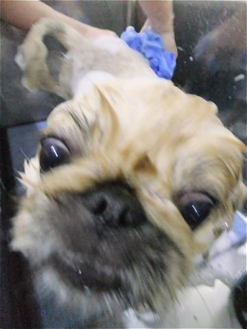 ペキニーズサマーカットペキニーズトリミング文京区フントヒュッテビションフリーゼ東京ノーフォークテリアブリーダー子犬hundehutteドッグキャリーバッグh