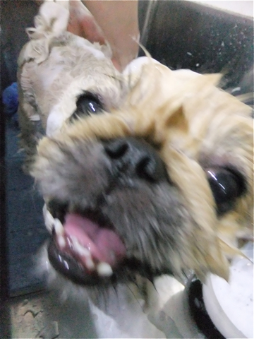 ペキニーズサマーカットペキニーズトリミング文京区フントヒュッテビションフリーゼ東京ノーフォークテリアブリーダー子犬hundehutteドッグキャリーバッグj