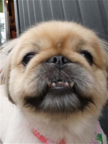 ペキニーズサマーカットペキニーズトリミング文京区フントヒュッテビションフリーゼ東京ノーフォークテリアブリーダー子犬hundehutteドッグキャリーバッグo