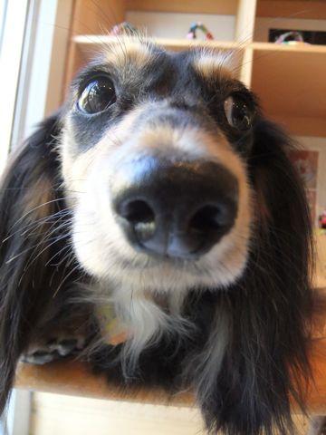 ダックスフンドトリミング文京区フントヒュッテ東京ナノオゾンペットシャワー使用店ハーブパック犬歯磨き犬デンタルケアhundehutteダックスシャンプー部分カット3