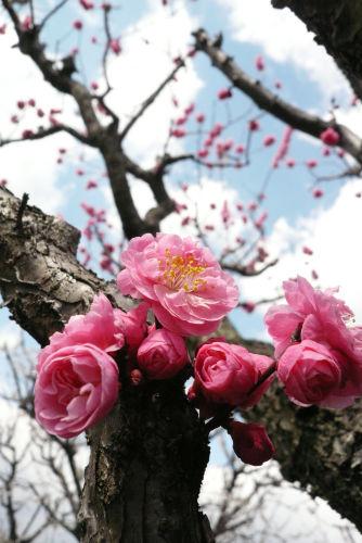 梅の花(赤)