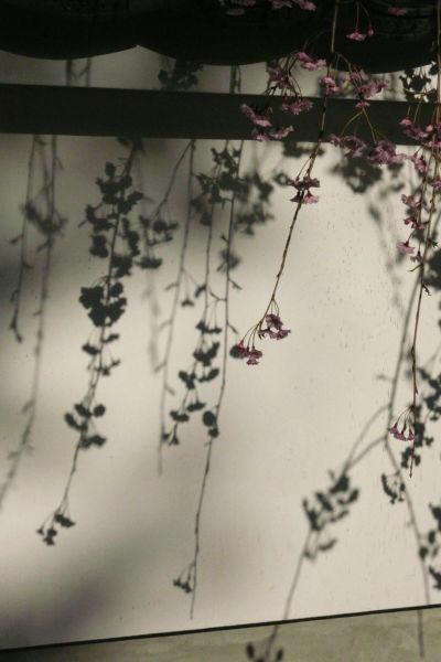 枝垂桜と影