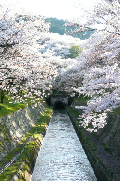 琵琶湖疏水のさくら