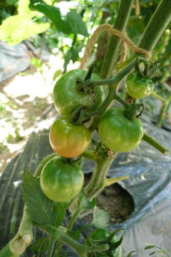 色づきはじめたトマト