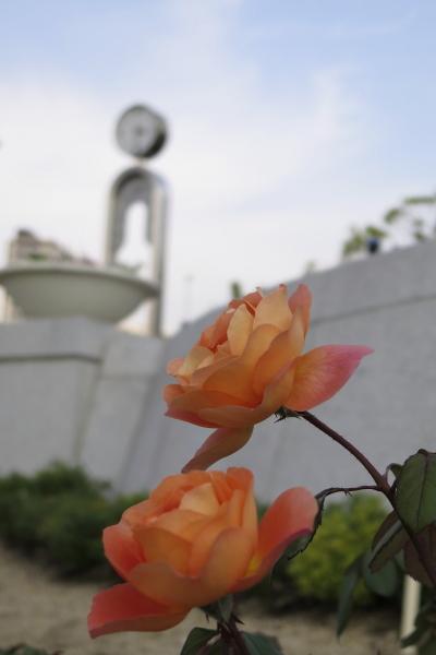 バラ(オレンジ)と時計
