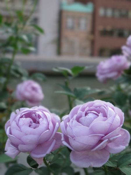 バラ(薄紫)
