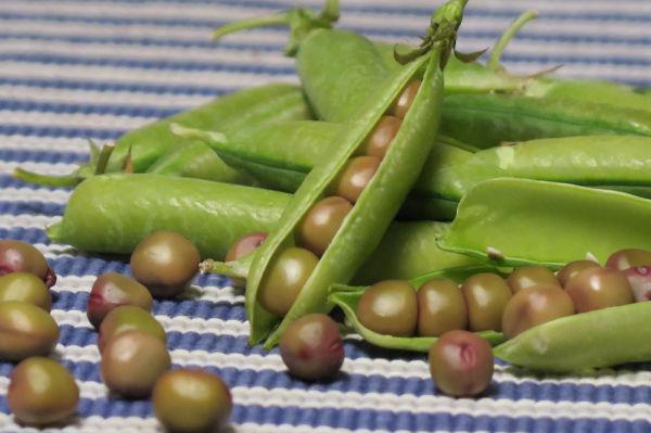 クレオパトラの豆