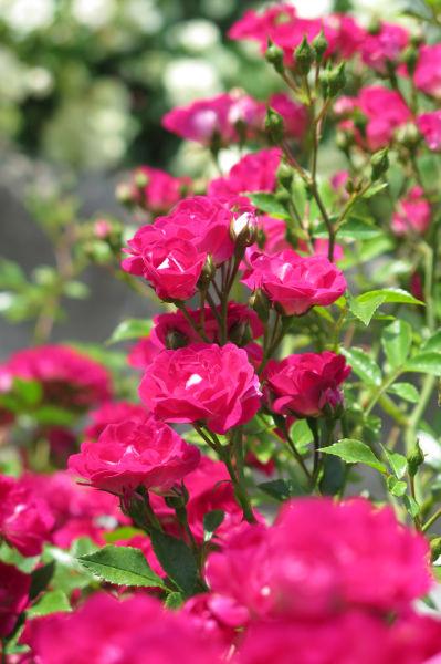 つるバラ(濃いピンク)