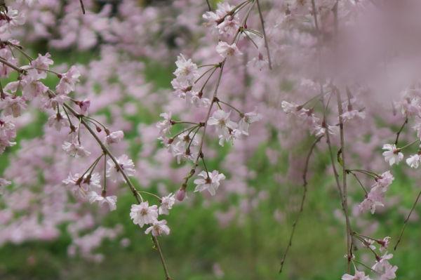紅枝垂れ桜2