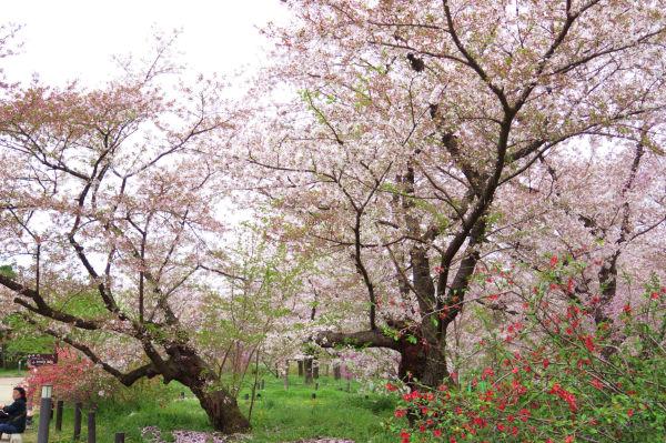 紅枝垂れ桜3