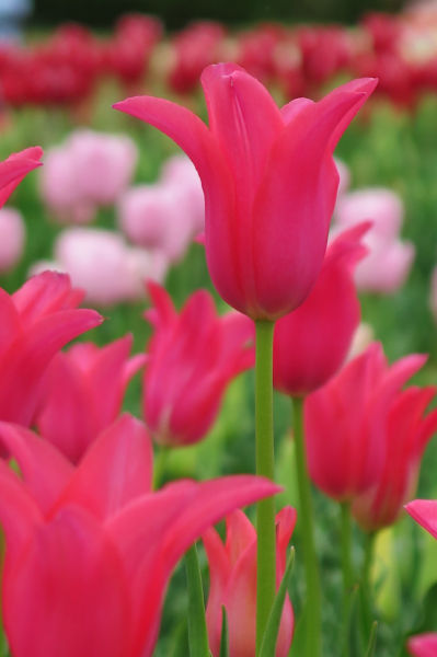 ピンクのチューリップ