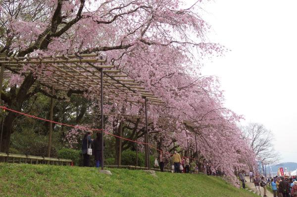紅枝垂れ桜のトンネル