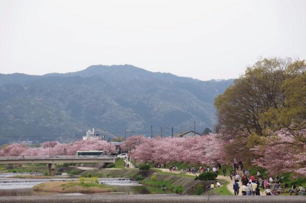 上賀茂神社までのさくら並木
