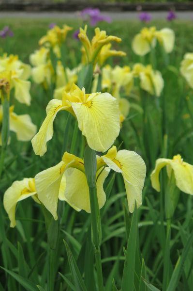 黄色しょうぶ2