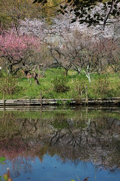 梅の花の映り込み
