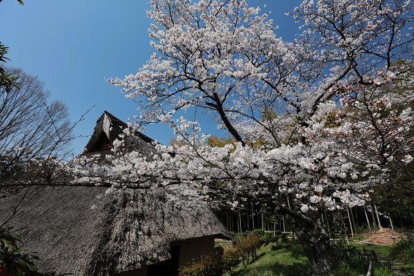 古民家と桜2