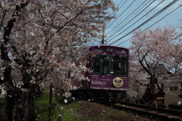 電車と桜吹雪