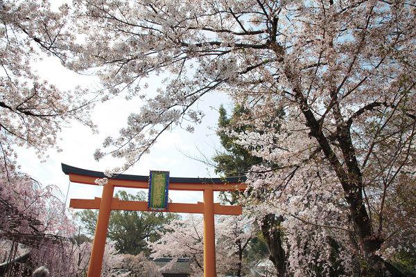 平野神社の鳥居と桜