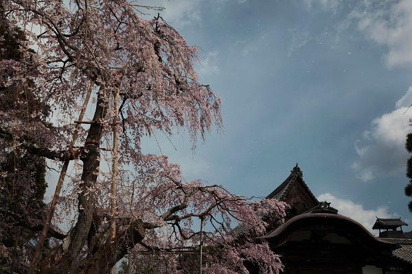 枝垂桜花吹雪