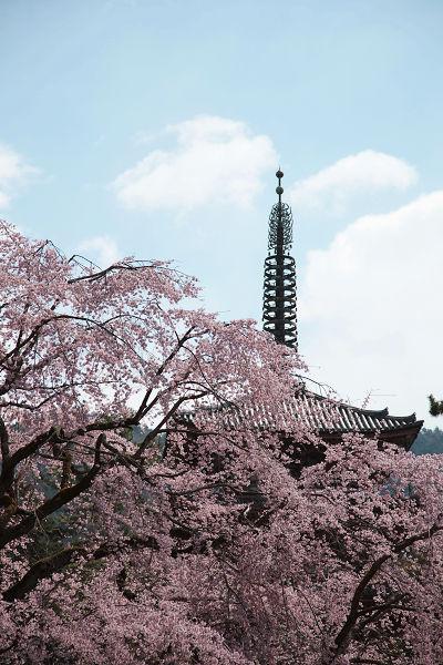 五重塔としだれ桜2