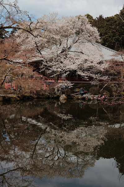 池に桜映り込み