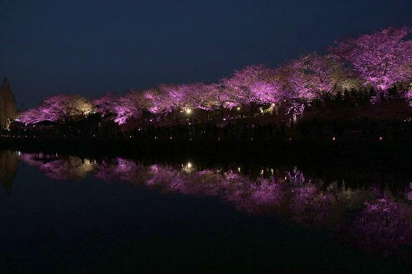 桜ライトアップ(ピンク)