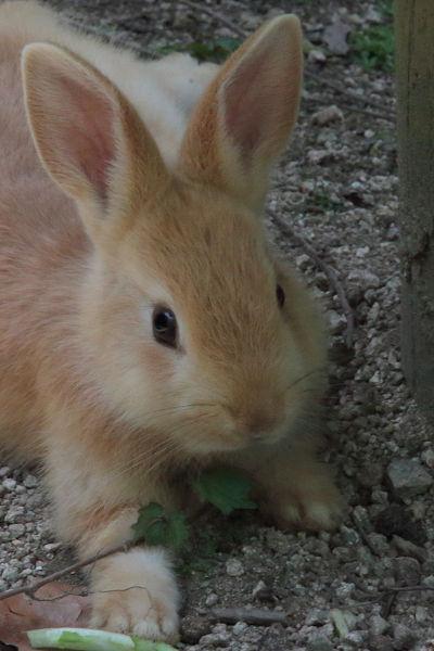 茶色ウサギ伸び
