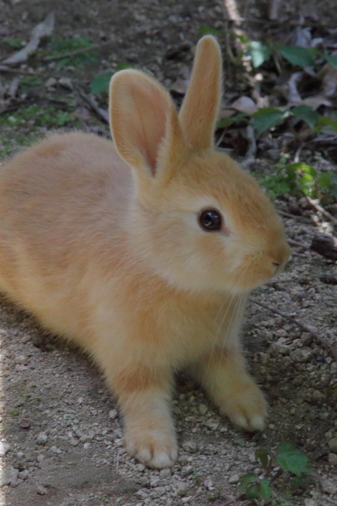 茶色ウサギ