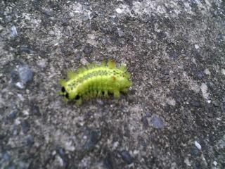 発光色の虫