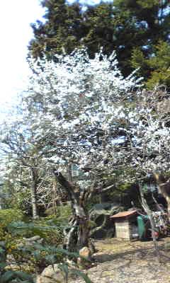 宝来屋の梅の木