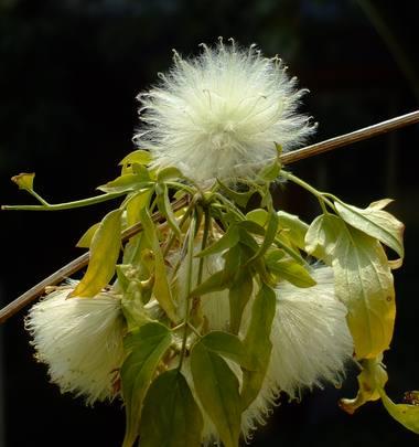 ナパウレンシスの綿毛