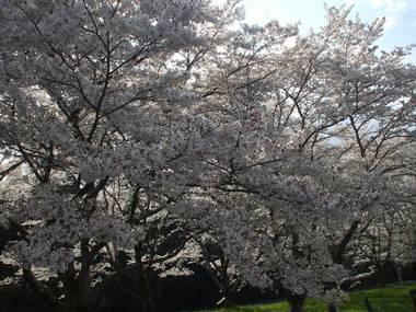 河原の桜3