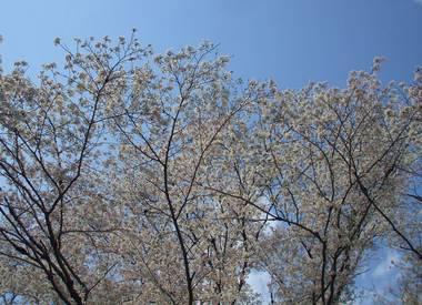 河原の桜5