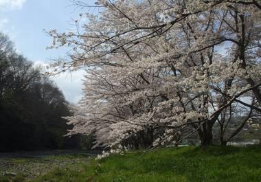 河原の桜4