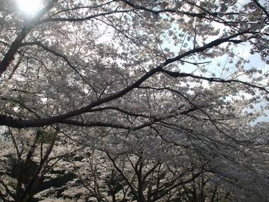 河原の桜6