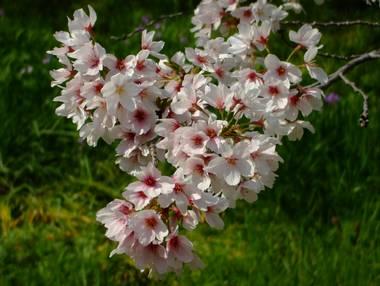 河原の桜7