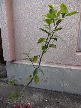 12.12.09レモン01