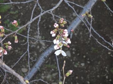 13.03.19春の花18