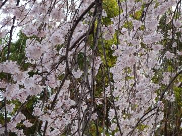 13.03.19春の花36