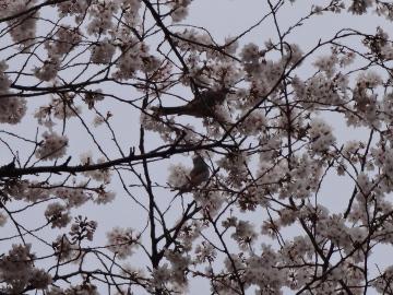 13.03.26小金井公園03