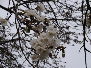 13.03.26小金井公園16