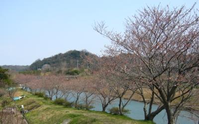 福光川土手の桜