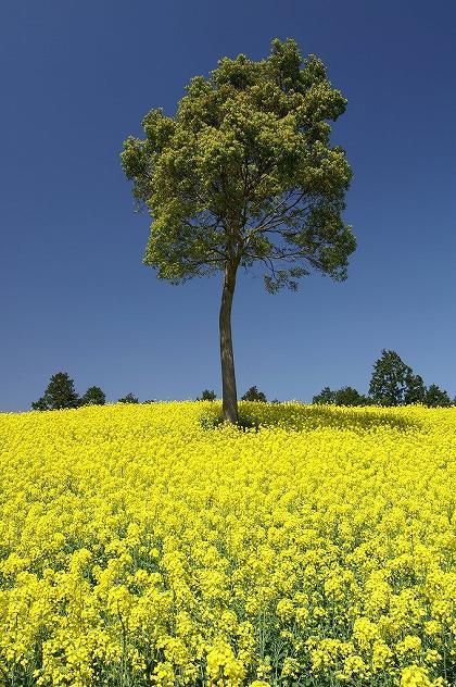 法華嶽公園の菜の花