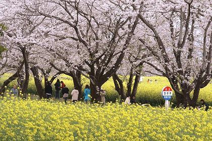 西都原古墳群 菜の花と桜