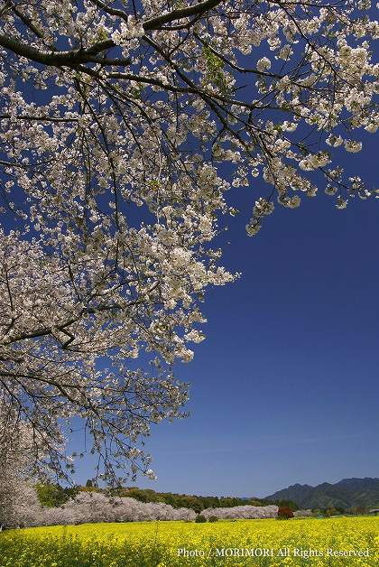 西都原古墳の桜と菜の花