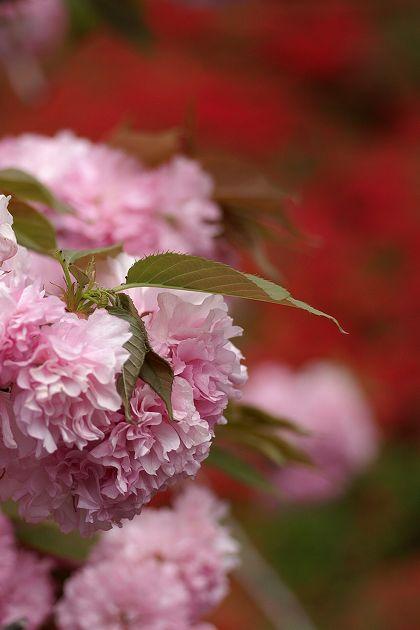 クルメツツジと八重桜 01 萩の茶屋にて