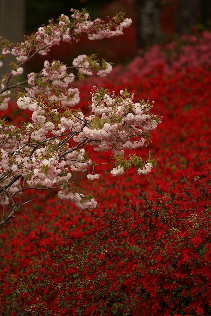 久留米ツツジと八重桜 椎八重公園