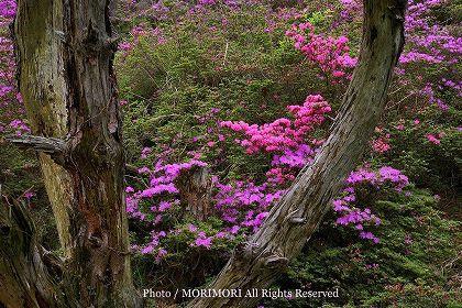 ミヤマキリシマ 韓国岳登山道付近ナイショのスポットA(2)