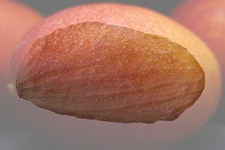 マンゴーの種 02